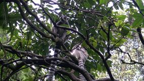 4k, lemure si siedono su un ramo di albero nello zoo archivi video