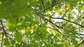 4K lengte van sommige verse groene die bladeren op een boom door de wind wordt geblazen stock footage