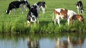 4K Les vaches frôlent dans le pré vert en édam, Pays-Bas banque de vidéos