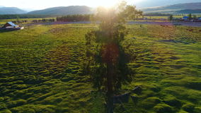 4K Lonely Tree on Summer Field in the Sunset Sunrise aerial slow motion 4k. 4K Lonely Tree on Summer Field in the Sunset Sunrise aerial slow motion 4k stock video footage