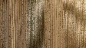 4K Lot nad świeżo kultywujący pola z grulą przy żniwo czasem, powietrzny odgórny widok z rolnictwo wzorem zdjęcie wideo