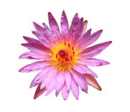 K lotus isolated  with clipping path Stock Photography