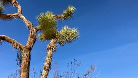Joshua Tree Plant over dark blue sky. 4K low angle shot of Joshua Tree with desert plants waving in the wind over blue sky clouds background stock video footage