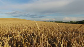 4K. Low flight above ripe crop field at sunset, aerial panoramic view stock footage