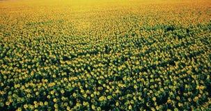4k lucht videogebied van zonnebloemen zonnige glans stock video