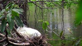 4k, Mały egret biorą opiece gniazdeczko z błękitnymi jajkami na drzewie jezioro przy Taipei zdjęcie wideo