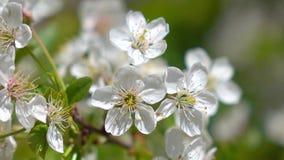 4K macro shot of blooming cherry tree stock footage