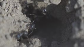 4k Macro view of a colony of Ants on nest, they forage working together. Sunset super close-up shot stock video