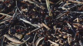4k Macro view of a colony of Ants on nest in forest as they forage working together. Sunset close-up shot stock footage