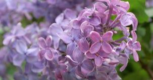 4K - Macro vue des fleurs lilas clips vidéos
