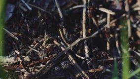4k macromening van een kolonie van Mieren op nest in bos aangezien zij het samenwerken voederen Het schot van het zonsondergangcl stock footage