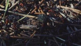 4k macromening van een kolonie van Mieren op nest in bos aangezien zij het samenwerken voederen Het schot van het zonsondergangcl stock videobeelden