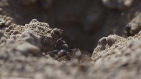 4k macromening van een kolonie van Mieren op nest, voederen zij het samenwerken Schot van het zonsondergang het super close-up stock videobeelden