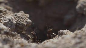 4k macromening van een kolonie van Mieren op nest, voederen zij het samenwerken Schot van het zonsondergang het super close-up stock footage