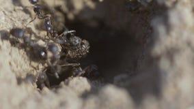 4k macromening van een kolonie van Mieren op nest, voederen zij het samenwerken Schot van het zonsondergang het super close-up stock video