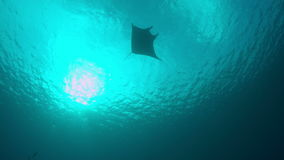 4k Manta ray swims in blue water stock video