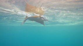 4k Manta ray swims in blue water stock footage