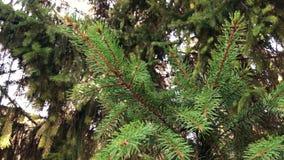 4k materiał filmowy Szczegóły świeży zielony conifer rozgałęziają się z sunrays i migoczą zbiory wideo