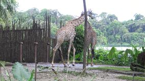 4K, Mensentoeristen kijk de giraf in de dierentuin (Giraffa-camelopardalis) stock video