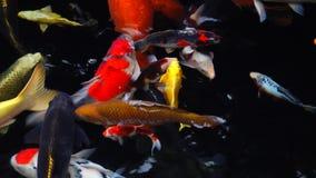 4k Mesmeryzuje specjalnego pięknego koloru koja łowi w jasnej świeżej wodzie zbiory wideo