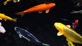 4k Mesmeryzuje specjalnego pięknego koloru koja łowi w jasnej świeżej wodzie zdjęcie wideo