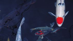 4k Mesmeryzuje specjalnego pięknego koloru koja łowi w jasnej świeżej wodzie zbiory
