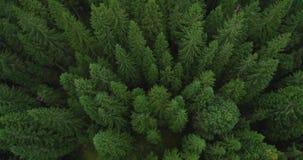 4k metraggio aereo dell'abetaia - vista di occhio di uccelli degli alberi attillati verdi nella fine dell'estate - coscienza ambi archivi video