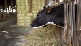 4K, Milk cow feeding process on modern farm. Domestic animals eating hay stock video footage
