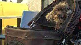 4k, miniaturowego pudla pies na zwierzę domowe frachcie wśrodku restauracji zdjęcie wideo
