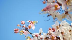 4K mooie bloeiende roze bloem die door de wind in het seizoen van de de lentetijd met blauwe hemel bij achtergrond, exemplaarruim stock footage