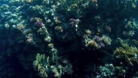 4k mooie onderwatervideo van koraalrif met het kweken van anemonen en overzees onkruid op het en het kleurrijke vissen zwemmen stock video
