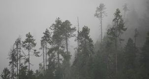 4k mountain mist rising in the morning,fog pine trees,Bomi County in tibet. 4k mountain mist rising in the morning,fog pine trees,such as wonderland.Bomi County stock footage