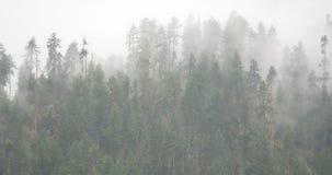 4k mountain mist rising in the morning,fog pine trees,Bomi County in tibet. 4k mountain mist rising in the morning,fog pine trees,such as wonderland. Bomi stock video