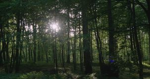 4K - Movimento lungo la giovane foresta nella mattina soleggiata archivi video