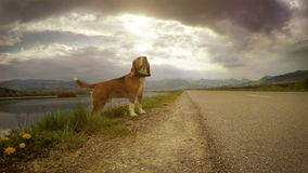 4K moving camera footage of a beagle during the walk stock video footage