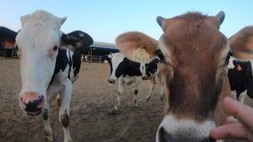 4K, mucca in granaio dell'azienda agricola Bestiame delle mucche dell'Holstein L'uomo tocca il naso del ` s della mucca archivi video