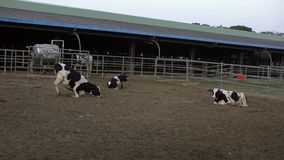 4K, mucca nel granaio dell'azienda agricola Bestiame delle mucche dell'Holstein Industria di agricoltura archivi video