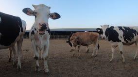 4K, mucca nel granaio dell'azienda agricola Bestiame delle mucche dell'Holstein Industria di agricoltura video d archivio