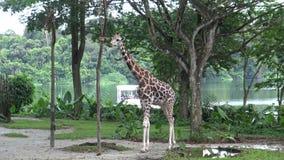 4K, muchacha asiática miran la jirafa que come de una caja con la comida en el parque zoológico almacen de metraje de vídeo
