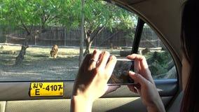 4K, mujer que toma la fotografía con el teléfono de la cámara del tigre de Bengala en un safari almacen de video