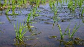 4K, närbildrisskördar och bakgrund för jordbruksmark för natur för vattenlantgårdlandskap stock video