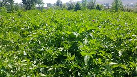 4k, nadat het aardappelgebied 4 keer water werd gegeven, zijn de weelderige bladeren zichtbaar, in Augustus in Armenië stock video