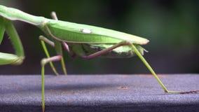 4K Nahaufnahme einer grünen Gottesanbeterin Das Insekt geht stock video footage
