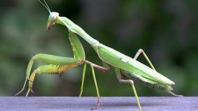 4K Nahaufnahme einer grünen Gottesanbeterin Das Insekt säubert, Hygiene stock footage