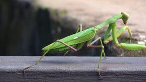 4K Nahaufnahme einer grünen Gottesanbeterin Das Insekt säubert, Hygiene stock video