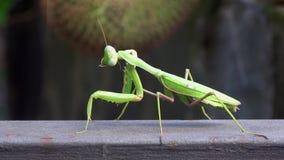 4K Nahaufnahme einer grünen Gottesanbeterin Das Insekt säubert, Hygiene stock video footage