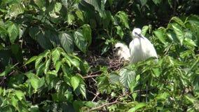 4k, neemt de witte vogel Egretta Garzetta zorg het nest en de kuikens op boom stock video