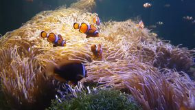 4K. Nemo clown fish swimming in the sea anemone on the colorful healthy coral reef. Anemonefish nemo group swimming underwater.  stock video footage