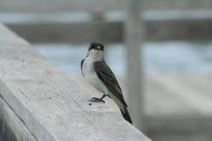 K?nig Bird Tyrannus Tyrannus lizenzfreie stockfotografie