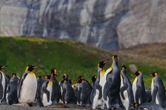 K?nig Penguins auf Goldhafen stockfotos